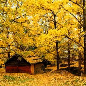 门前的银杏树